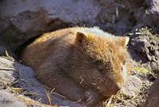 Вомбат - австралийский земплекоп