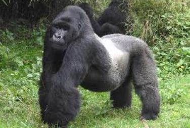 Гигантские гориллы - Кинг-Конг еще жив!