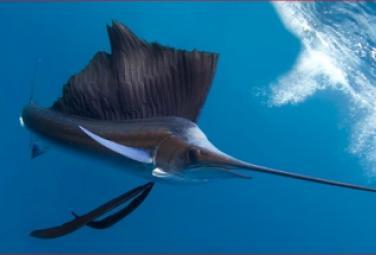 Рыба парусник